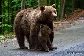 Se mută urşii de la cetatea lui Ţepeş