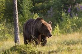 Cine se ocupă de urşii care ameninţă turiştii în Argeş?