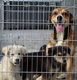 Autorităţile din Mioveni vor iniţia o campanie de adopţii pentru câinii fără stăpân