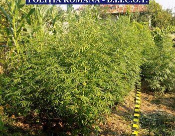 Argeș : Cultură de cannabis, într-o curte din comuna Săpata