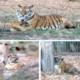 Puiul de tigru născut la Zoo Piteşti va primi nume de la piteşteni